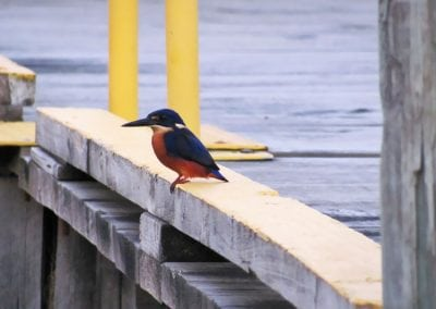 Kingfisher-at-Strahan